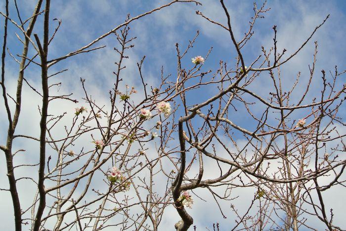 桜の花、狂い咲き_e0089232_08313110.jpg