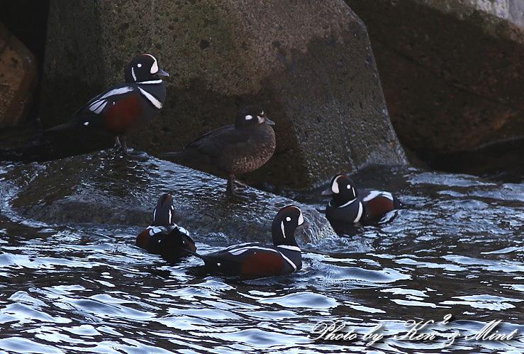 北海道探鳥ツアー part7 「シノリガモ」 さん♪ _e0218518_2147748.jpg