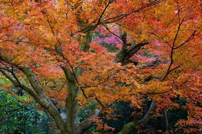 鎌倉 明月院の紅葉が見頃でした_b0145398_16325217.jpg