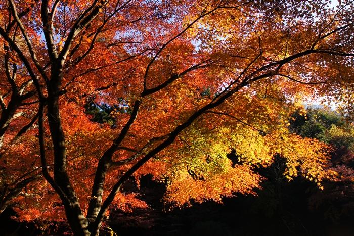 鎌倉 明月院の紅葉が見頃でした_b0145398_16412793.jpg