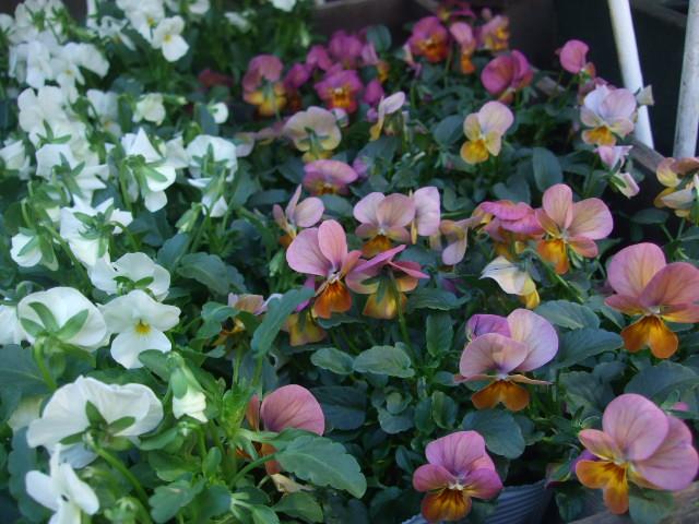 オークリーフ(冬の花たち)_f0049672_11335274.jpg