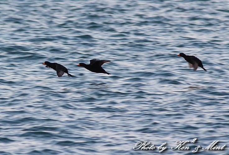 北海道探鳥ツアー part9、10 「シロカモメ」&「クロガモ」 さん♪ _e0218518_2328201.jpg