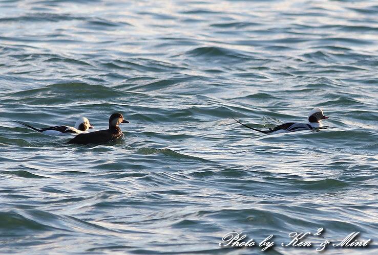 北海道探鳥ツアー part9、10 「シロカモメ」&「クロガモ」 さん♪ _e0218518_23292135.jpg
