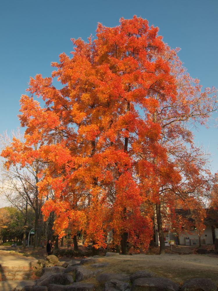 紅葉 2013 <万博公園>            _f0021869_20501196.jpg