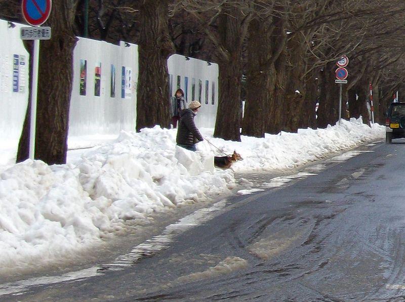 暴風雪から一転して雪解けの札幌_c0025115_16445183.jpg