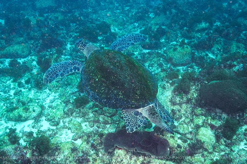 巨大なアオウミガメがゴロゴロいた!_b0186442_22133082.jpg