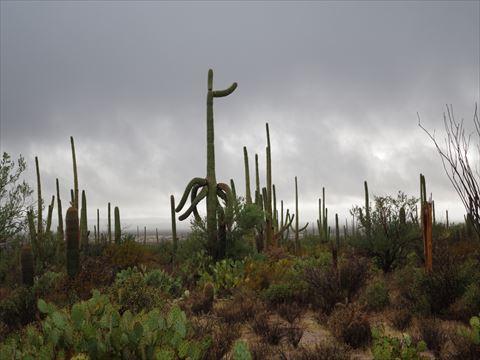 """サワロ \""""Saguaro\""""_a0023246_234667.jpg"""