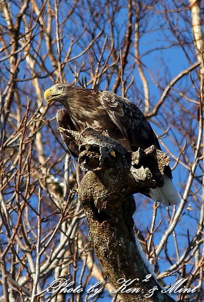 北海道探鳥ツアー part13、14 「オジロワシ」 「クマタカ」 さん ♪ _e0218518_22105551.jpg