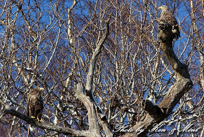 北海道探鳥ツアー part13、14 「オジロワシ」 「クマタカ」 さん ♪ _e0218518_22111056.jpg