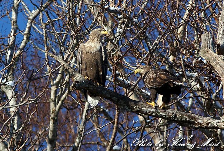 北海道探鳥ツアー part13、14 「オジロワシ」 「クマタカ」 さん ♪ _e0218518_22113081.jpg