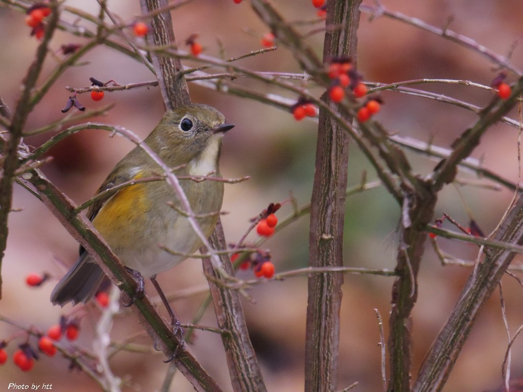 2013年12月18日 鹿島台の森 ~ようやく姿を見せたルリビタキ~_f0148627_1457852.jpg