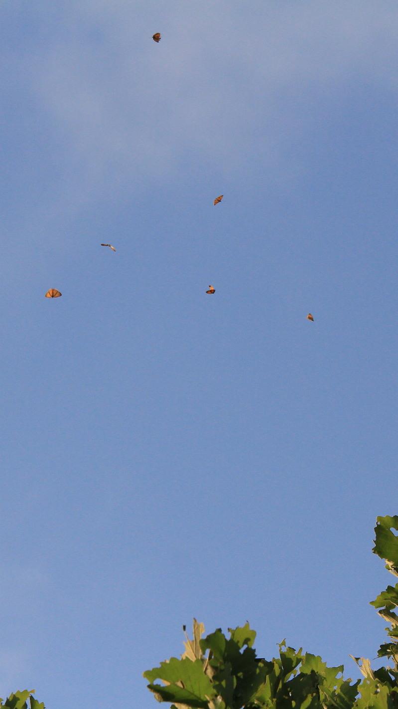 キタアカシジミ  黄昏の群れ飛翔  2013.7.15北海道43-final_a0146869_21202295.jpg