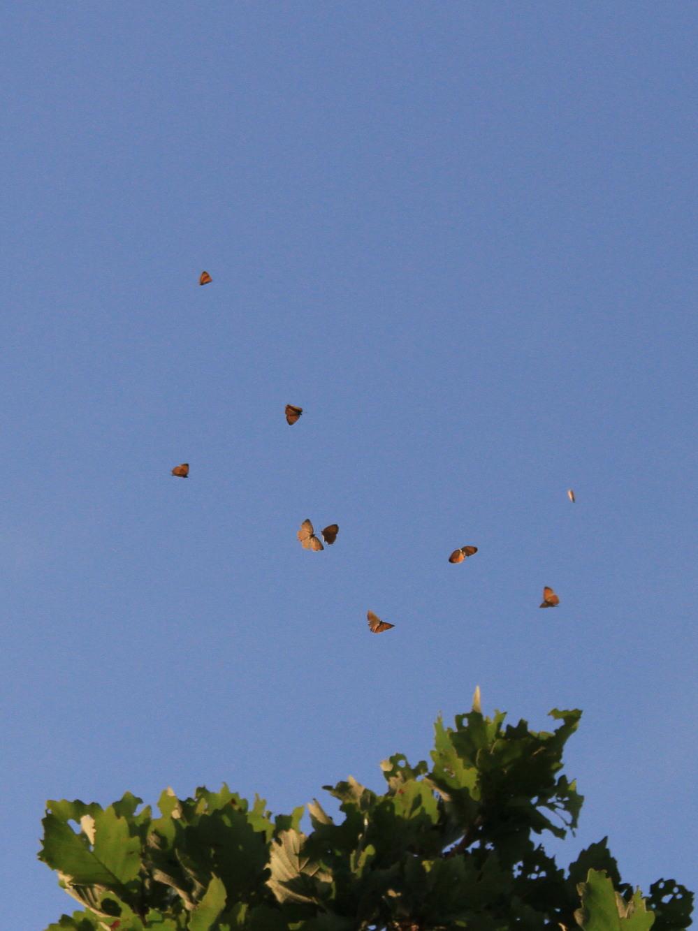 キタアカシジミ  黄昏の群れ飛翔  2013.7.15北海道43-final_a0146869_21202878.jpg