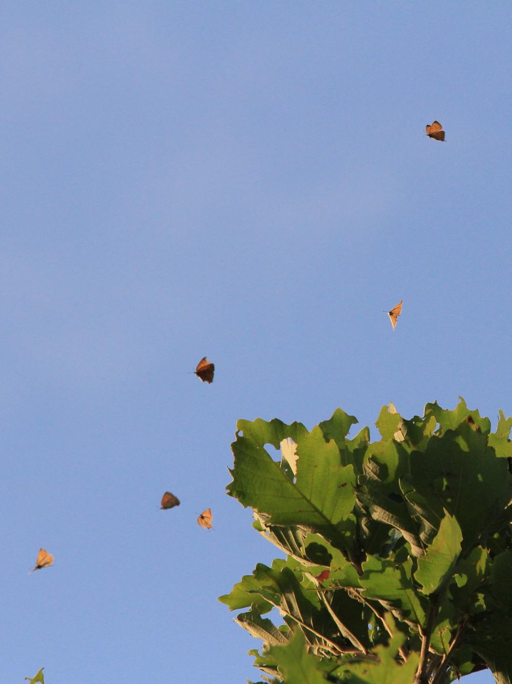 キタアカシジミ  黄昏の群れ飛翔  2013.7.15北海道43-final_a0146869_21203593.jpg