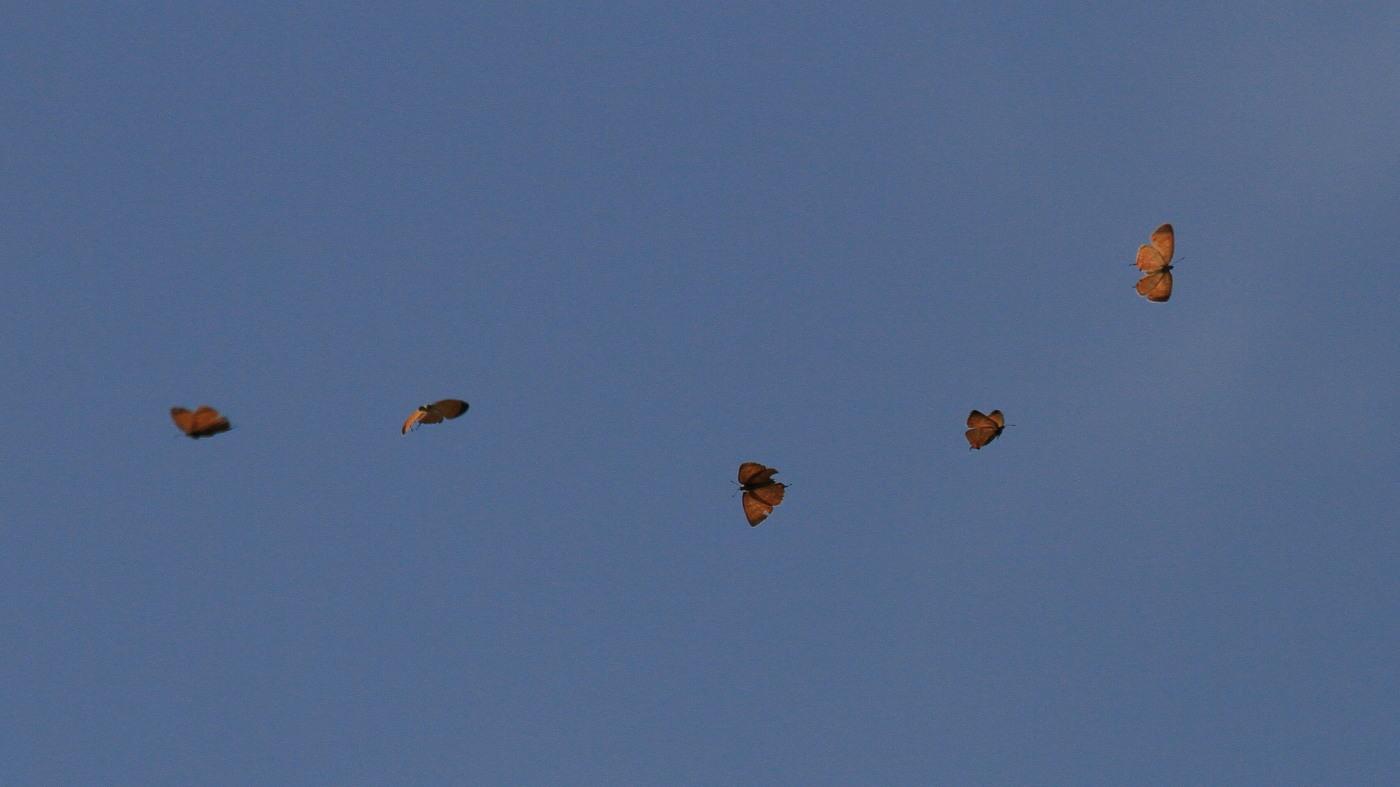 キタアカシジミ  黄昏の群れ飛翔  2013.7.15北海道43-final_a0146869_2120426.jpg