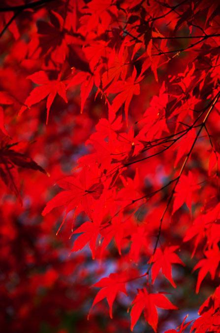 小石川後楽園の紅葉2_a0263109_1315967.jpg