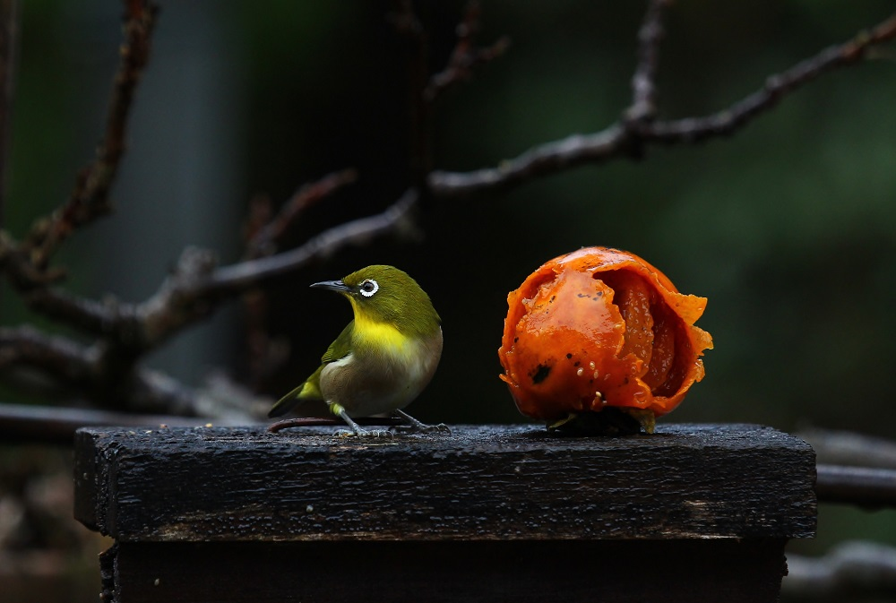 庭に来るメジロ、パート2_f0305401_7365988.jpg