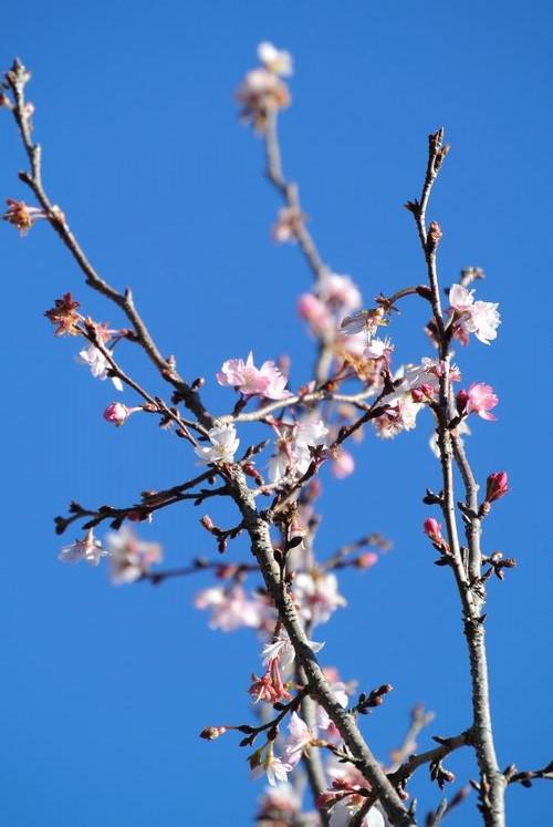 十月桜(たぶん)_e0089232_11464688.jpg