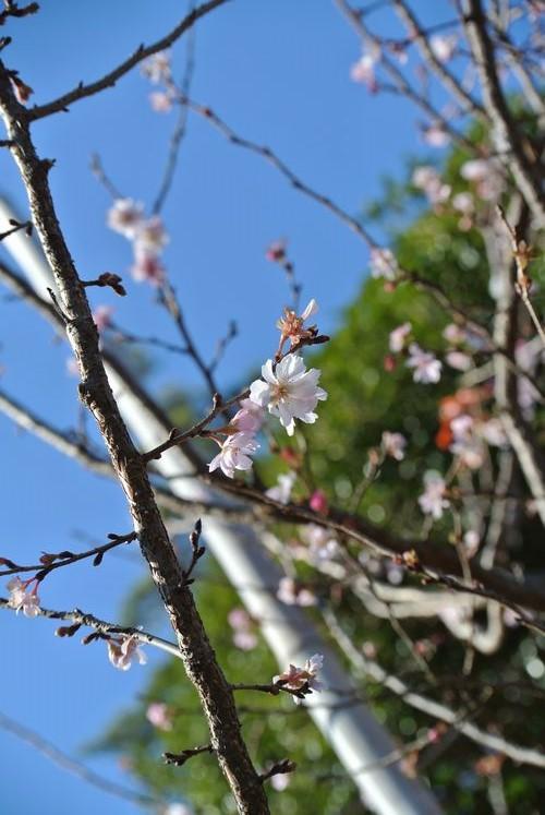 十月桜(たぶん)_e0089232_11465083.jpg