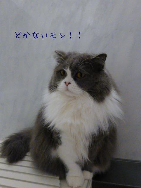 猫 番頭_e0237625_133726.jpg