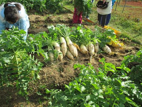 大根の収穫です(^o^)_f0079749_1358890.jpg