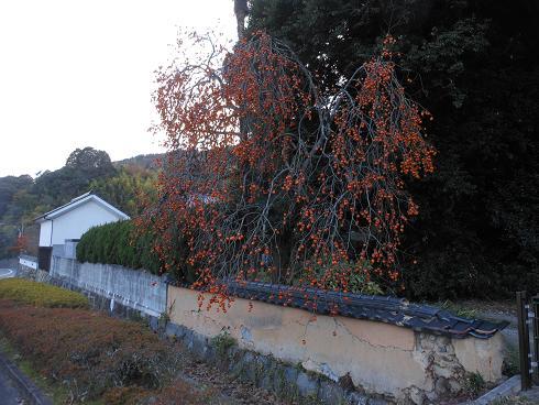 冬至に咲く柿の花_e0175370_21281443.jpg