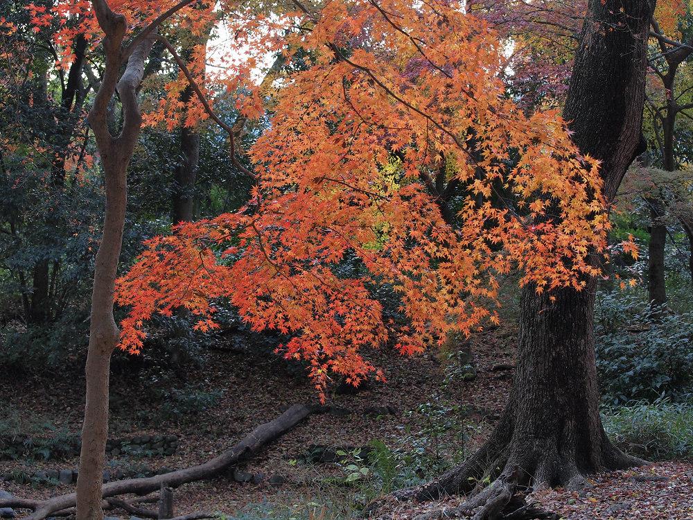 紅葉 2013 <糺の森>            _f0021869_0273266.jpg