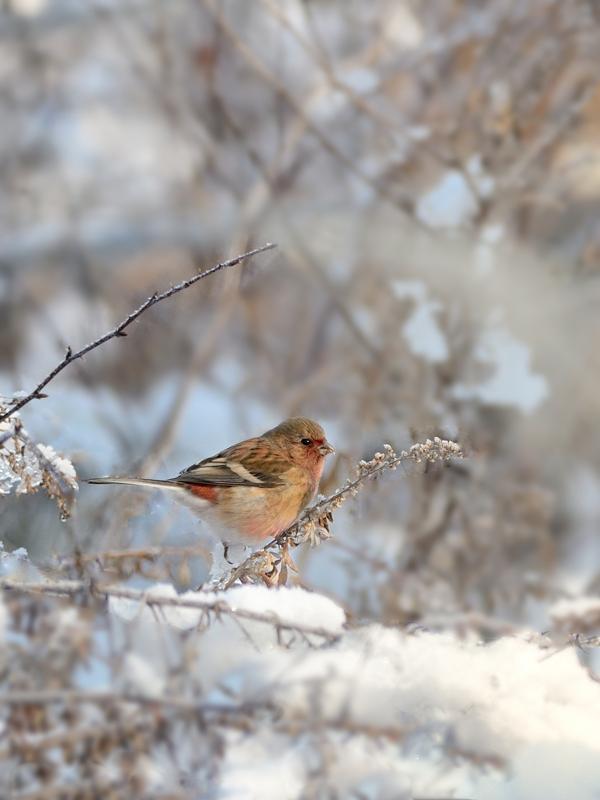 雪ベニマシコ_a0204089_7161359.jpg