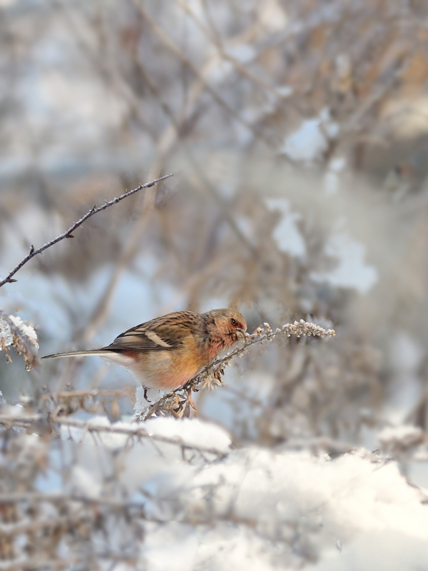 雪ベニマシコ_a0204089_716243.jpg