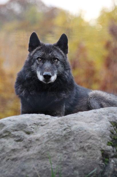 旭山のオオカミたち_c0155902_2232395.jpg