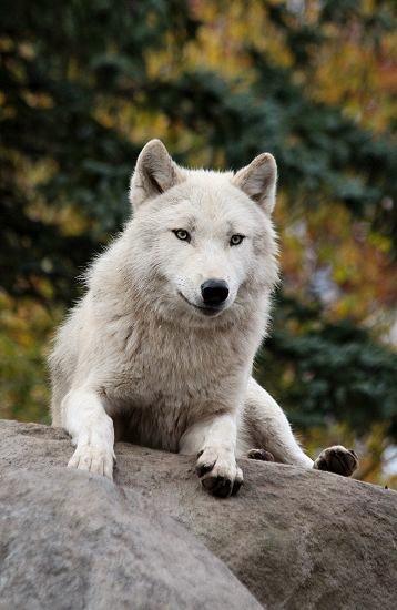 旭山のオオカミたち_c0155902_22324148.jpg