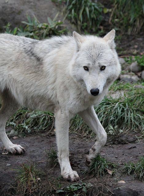 旭山のオオカミたち_c0155902_22332469.jpg