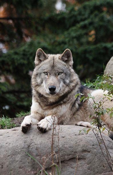 旭山のオオカミたち_c0155902_2234079.jpg