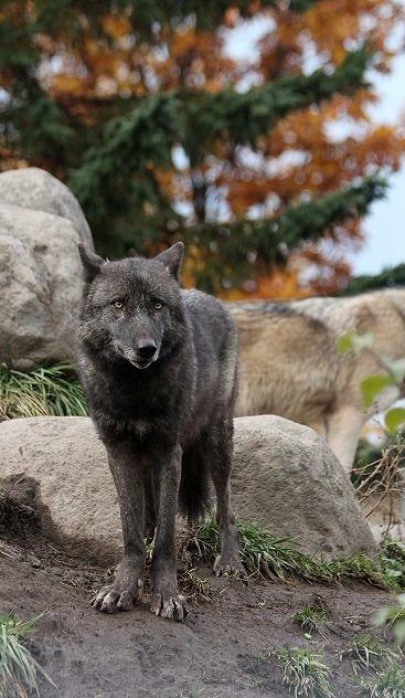 旭山のオオカミたち_c0155902_22354938.jpg
