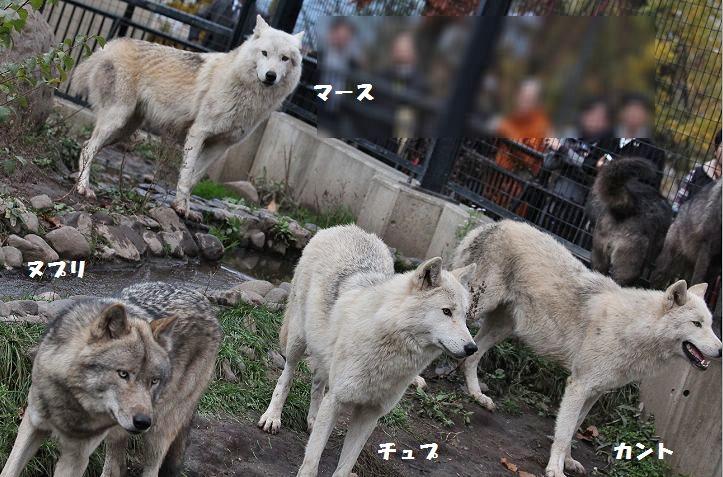 旭山のオオカミたち_c0155902_22365156.jpg