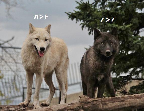 旭山のオオカミたち_c0155902_22375164.jpg