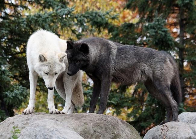 旭山のオオカミたち_c0155902_22383364.jpg