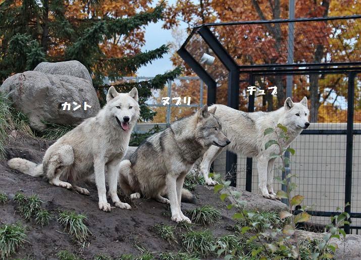 旭山のオオカミたち_c0155902_22385412.jpg