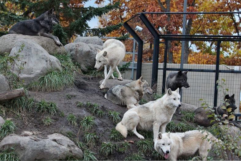旭山のオオカミたち_c0155902_22391227.jpg