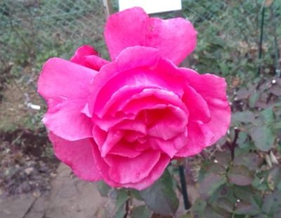 冬の薔薇_a0094959_1049942.jpg