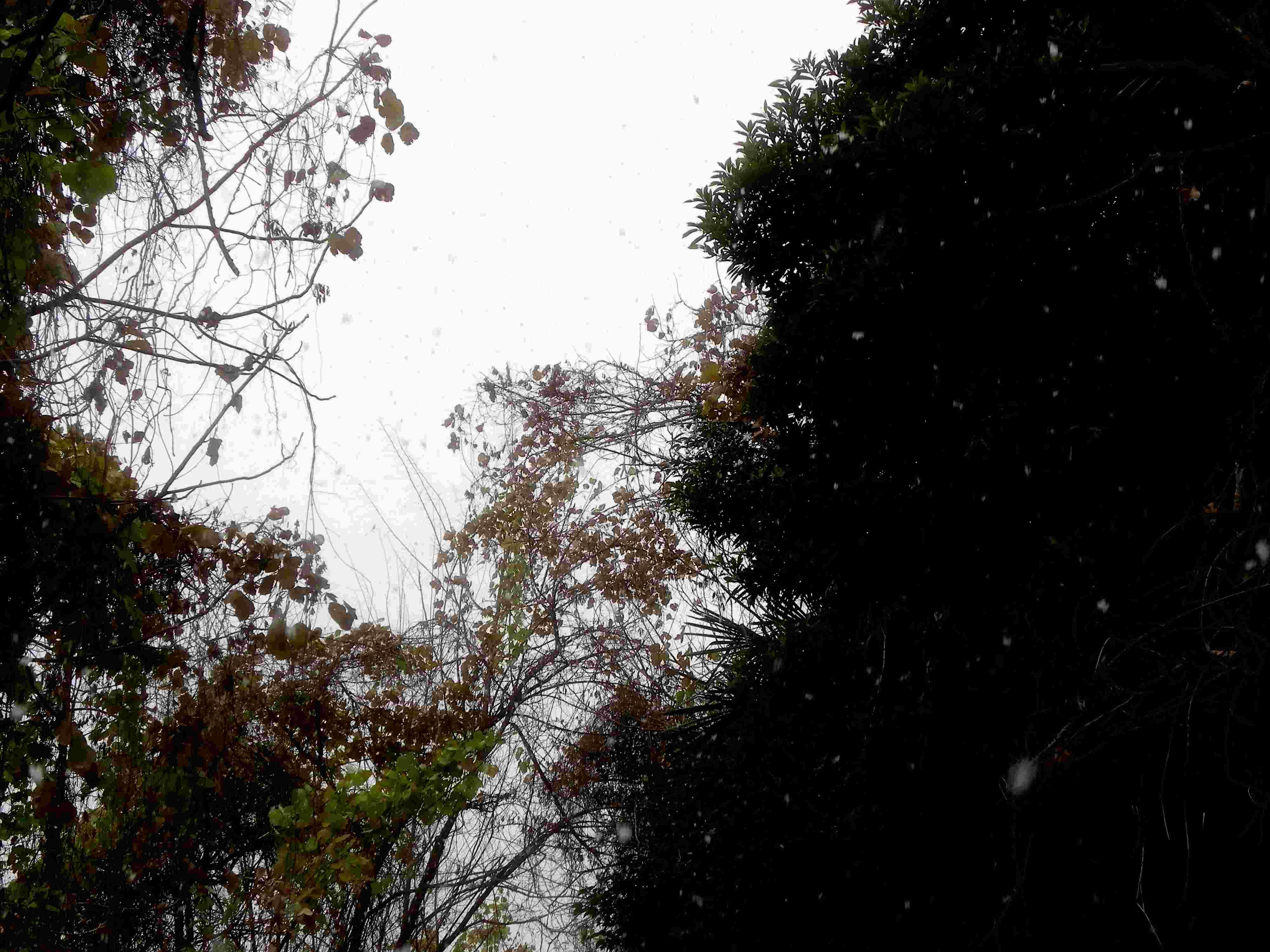 ムラサキツバメシジミ  初雪の中の越冬集団_d0254540_1037733.jpg