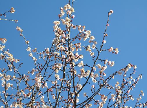 青空に映る10月桜_b0115553_17353724.png