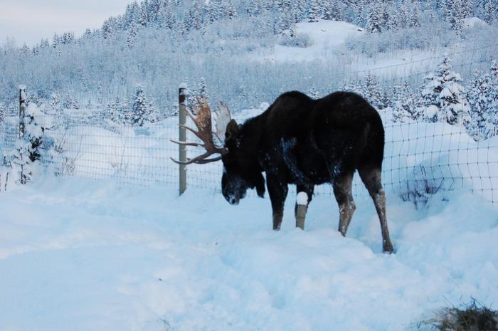極北の動物を身近に感じれるユーコン動物保護地区_d0112928_734626.jpg