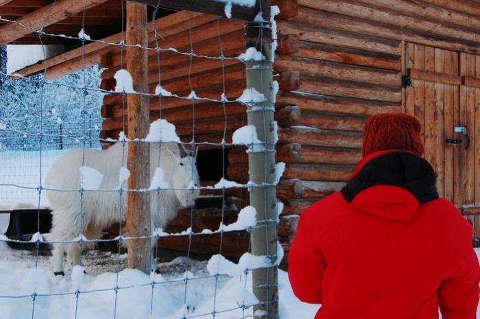 極北の動物を身近に感じれるユーコン動物保護地区_d0112928_783178.jpg