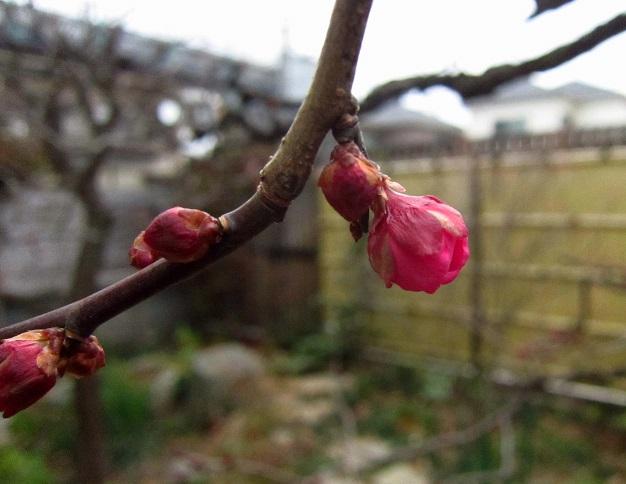 成長しない紅梅のつぼみ_a0107574_17141034.jpg