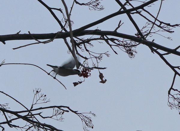 ヒヨドリの羽ばたき_d0162994_9101960.jpg