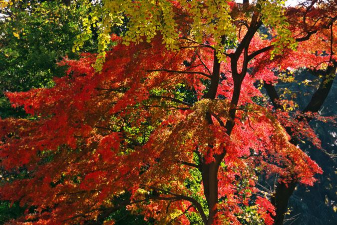 新宿御苑の紅葉の盛り1_a0263109_1210354.jpg