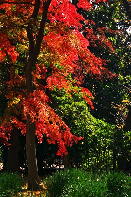 新宿御苑の紅葉の盛り1_a0263109_12104675.jpg