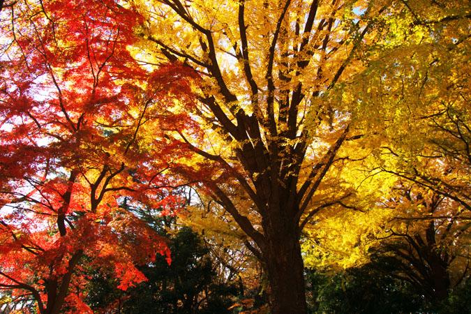 新宿御苑の紅葉の盛り1_a0263109_12105942.jpg
