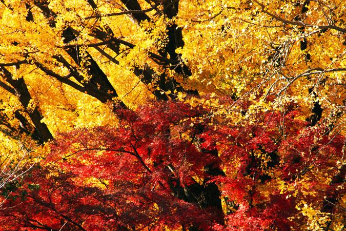 新宿御苑の紅葉の盛り1_a0263109_12111189.jpg